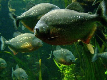 Local information freshwater biome for Fish in the amazon